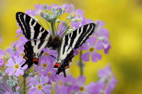 さくら草とさくら草とギフ蝶