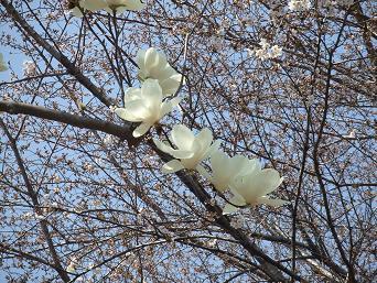 2014桜7