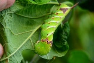 シモフリスズメ 幼虫