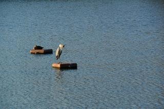 羽根大池 アオサギ