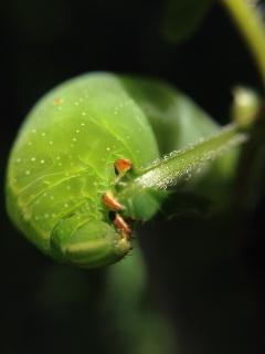 スズメ蛾の幼虫