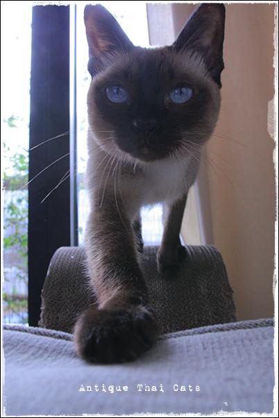 猫 cat แมว ไทย アンティークタイキャットAntique Thai Cats シャム猫 Siamese วิเชียรมาศ タイ Thailand