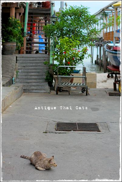 タイ ソト猫 野良猫 地域猫 stray alley mix cat Thailand แมว ไทย ホアヒン Hua Hin หัวหิน