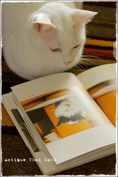 まこという名の不思議顔の猫 猫 カオマニー オッドアイ cat khaomanee oddeyes แมว ไทย ขาวมณี アンティークタイキャット