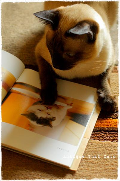まこという名の不思議顔の猫 猫 cat แมว ไทย アンティークタイキャットAntique Thai Cats シャム猫 Siamese วิเชียรมาศ タイ Thailand
