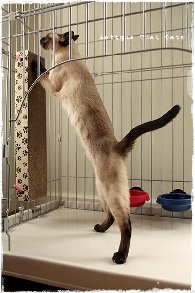 猫首輪 ปลอกคอ แมว cats collar 猫用品 goods ของแมว 爪とぎ
