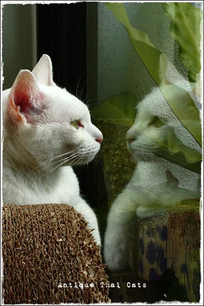 猫 カオマニー オッドアイ cat khaomanee oddeyes แมว ไทย ขาวมณี