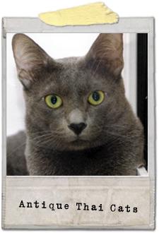 アンティークタイキャット Antique Thai Cats 猫 cat แมว タイ Thailand ไทย
