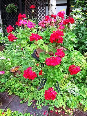 アルペンフローラの花々2