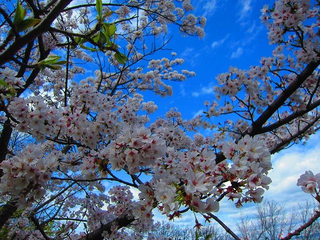 桃陵公園(香川県多度津町)の桜1
