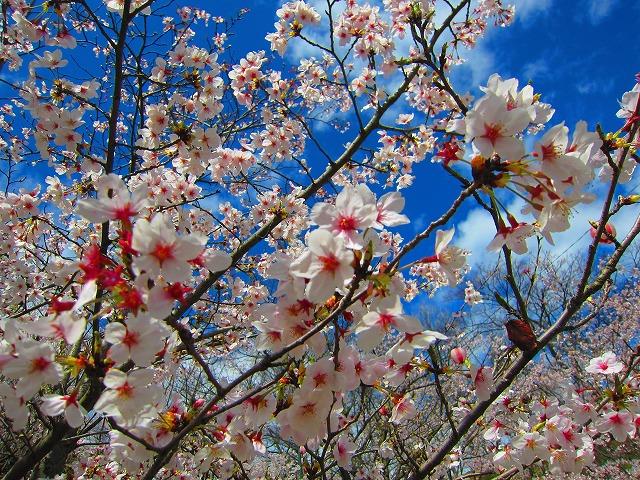 桃陵公園(香川県多度津町)の桜2