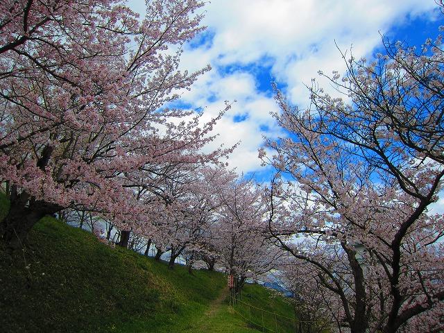 桃陵公園(香川県多度津町)の桜3
