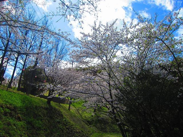 桃陵公園(香川県多度津町)の桜4
