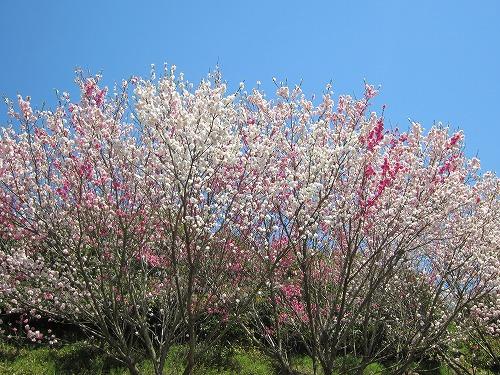 ジャルダン桜1