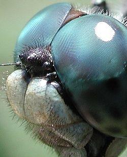 トンボの複眼