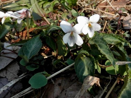 ナガバノスミレサイシン白