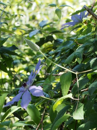 8カザグルマ紫