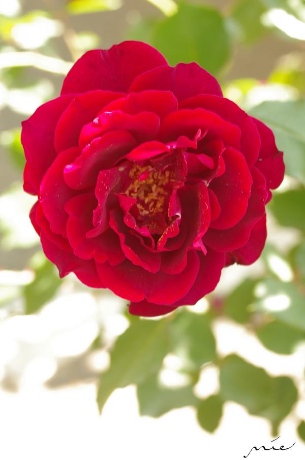 紋章の薔薇_convert_20140617225332