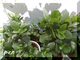 カランコエ挿し芽1