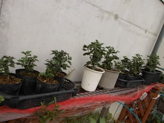 菊 挿し芽2