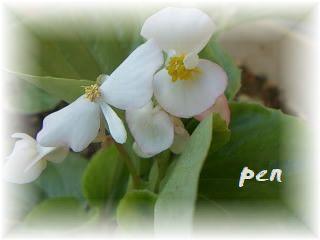 ベゴニア花だ