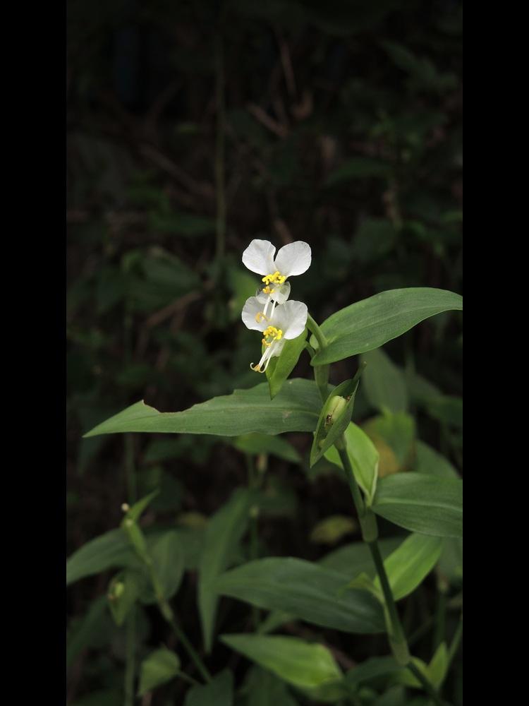 ツユクサ 白花の全景