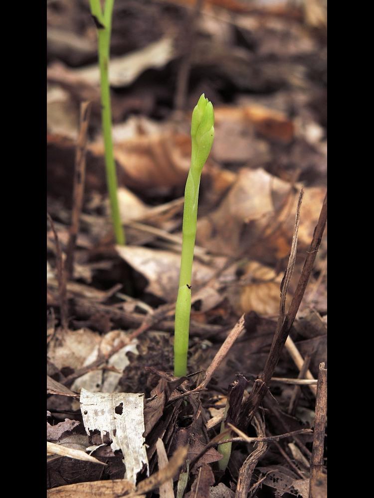 サガミラン 若い地上部・苞・鱗片葉