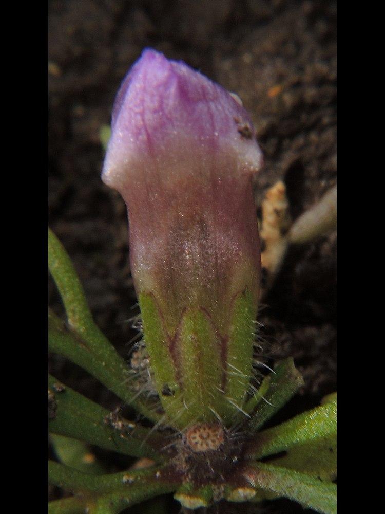 キクモ 花の上側・萼