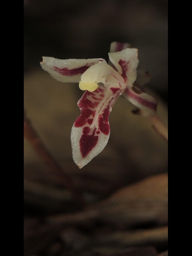 マヤラン 花唇弁