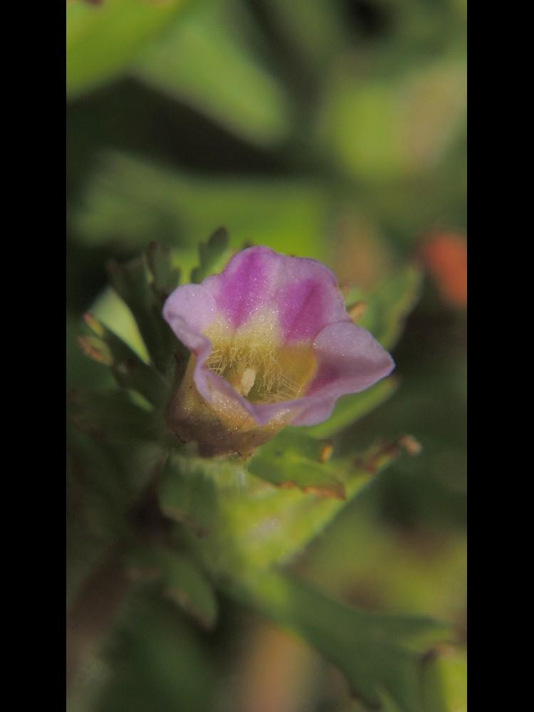 キクモ 花