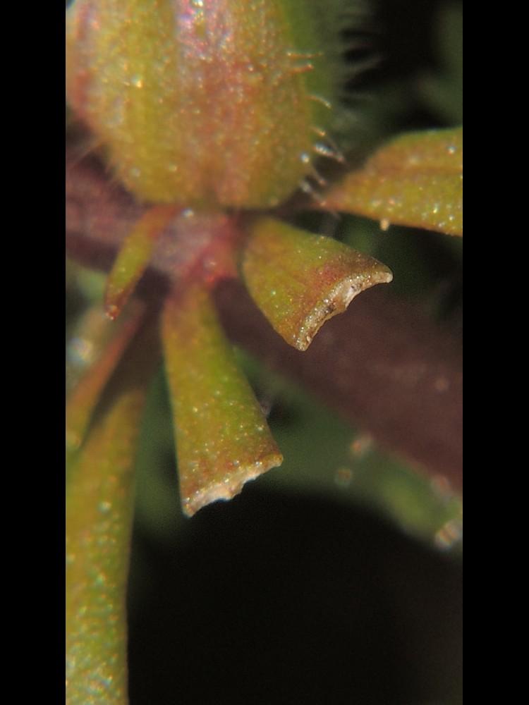 キクモ 葉の断面