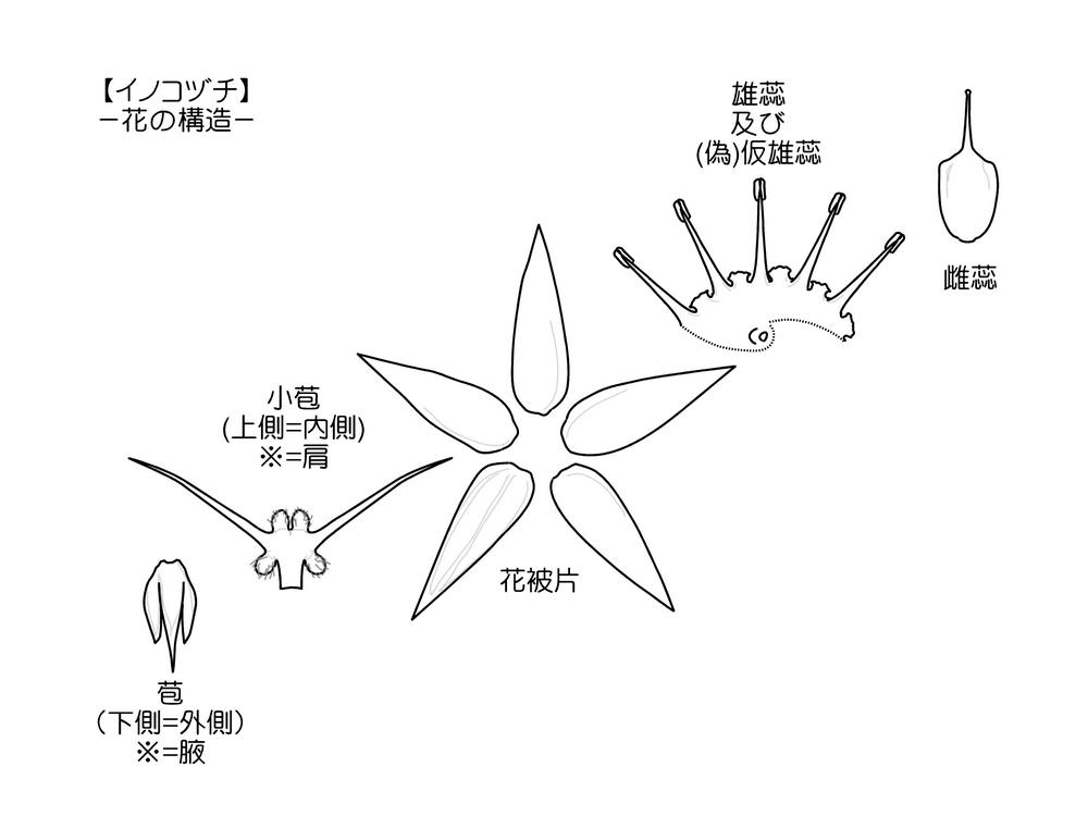 ヒナタイノコヅチ 構造図