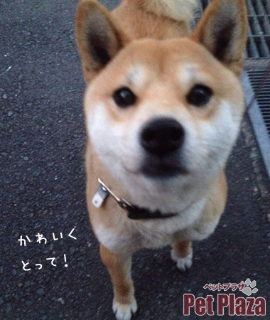 柴犬きなこちゃん1