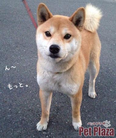 柴犬きなこちゃん2