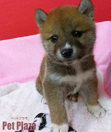 柴犬20140220-2