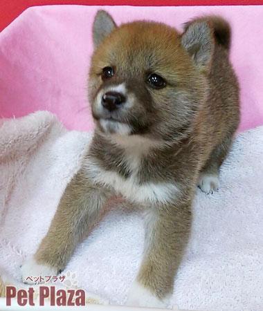 柴犬20140220-3