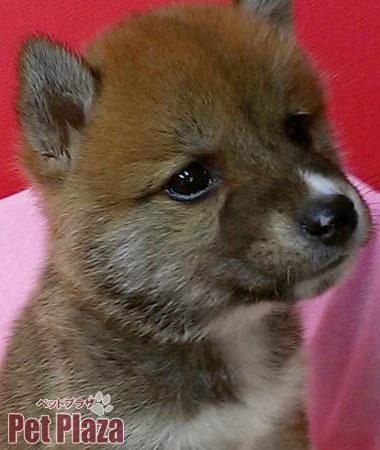 柴犬20140220-4