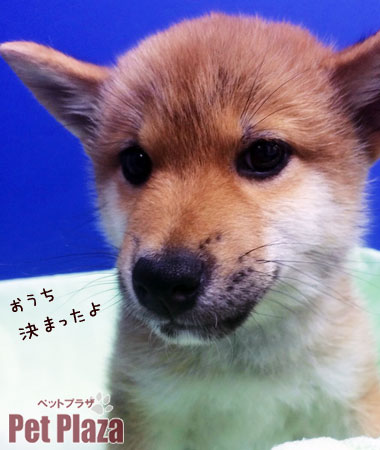 柴犬20140305-1