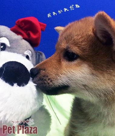 柴犬20140305-2