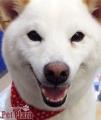 柴犬_くもりちゃん1