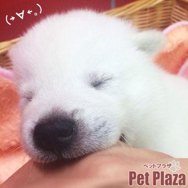 紀州犬20140821-5