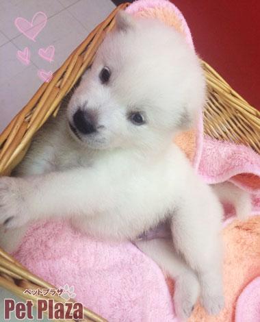 紀州犬20140821-6