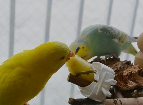 りんごの乱1-1ぽぴの舌がかわいい