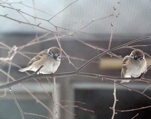 すずめさん2羽1