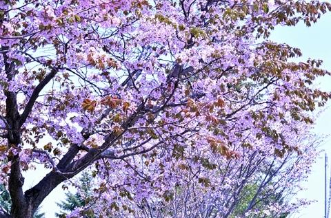 桜の木が続く