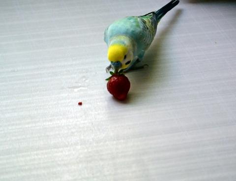 イチゴをこんなとこまで飛ばして