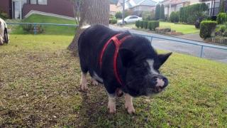 豚さんがミレーニアを散歩2