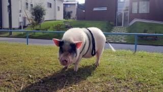 豚さんがミレーニアを散歩1