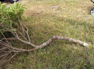 ゆずり葉の枝