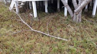 桜の枝60mm径